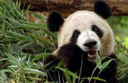 熊猫只有中国有吗 中国国宝独一无二